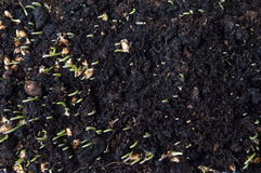 Wheat plant rising from the soil Royalty Free Stock Image