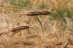 Wheat plant in rural Royalty Free Stock Photo