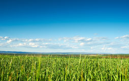 Wheat plantation Royalty Free Stock Photography