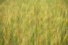 Wheat plantation. A wheat field closeup - texture Stock Images