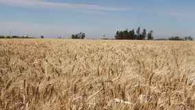 Wheat plantation in the Argentine countryside stock video footage