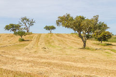 Wheat plantation farm and cork trees in Vale Seco, Santiago do C. Acem, Alentejo, Portugal Royalty Free Stock Photo