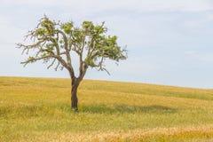 Wheat plantation farm and cork trees in Vale Seco, Santiago do C. Acem, Alentejo, Portugal Royalty Free Stock Photos
