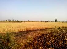 Wheat plantation landscape Stock Photo