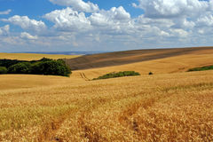 Wheat plantation royalty free stock photos
