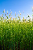 Wheat plants Stock Photos