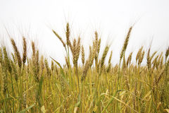 Wheat Plants. In the field Stock Photo
