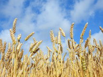 Wheat plants field. Ripe wheat  agriculture field in summer, Lithuania Royalty Free Stock Images