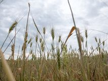 Wheat plants before harvest time on agriculture field stock photo