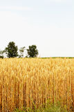Wheat plants under blue sky Stock Images