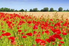 Wheat and poppies Stock Image