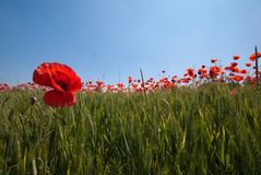 Wheat and Poppies Royalty Free Stock Images