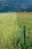 Wheat and poppies field in Savoy, France Royalty Free Stock Photography