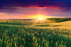 Wheat and poppies field at sunset Stock Image