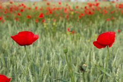 Wheat Poppies  in a green cereal crop Stock Photos