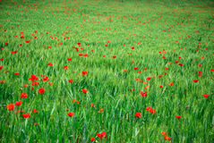 Wheat and poppies. Green Wheat and red poppies. Spring season Royalty Free Stock Photography