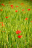 Wheat and poppies. Green Wheat and red poppies. Spring season. Shot with Nikon d7000 Royalty Free Stock Photo