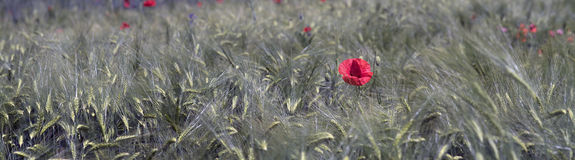 Wheat and poppies Stock Photography