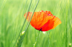 Wheat and poppy Stock Photos