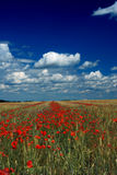 Wheat and poppy field Stock Photography