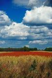 Wheat and poppy field royalty free stock photos
