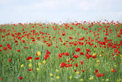 Wheat and poppy field Royalty Free Stock Photo