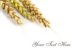 Wheat Post Card Stock Photography