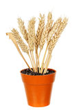 Wheat in pot Stock Photo