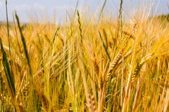 Wheat, product of hot summer stock photos