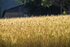 Wheat production in Provence France Stock Photo