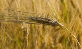 Wheat - Pure Gold Royalty Free Stock Image