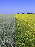 Wheat and rape field Stock Image