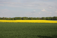 Wheat and field in spring. Wheat and field in Oise, Picardie region of France stock image