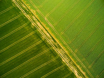 Wheat and rapeseed fields with tractor tracks. Aerial view to green wheat and rapeseed fields with tractor tracks. Agricultural landscape from above royalty free stock image