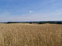 Wheat reading for harvesting in a field. Golden ears of wheat or barley reading for harvesting growing in a vast agricultural field stretching away into the Stock Image
