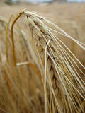 Wheat ready for the harvest Royalty Free Stock Photo