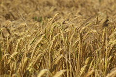 Wheat ready to be harvested Royalty Free Stock Photos