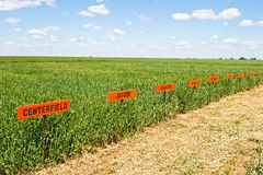 Wheat Research Field. Field of wheat planted in several varieties for research Stock Photo
