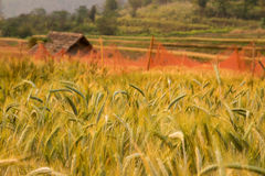 Wheat Field. Wheat rice Field in the evening Royalty Free Stock Photo
