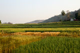 Wheat Field. Wheat rice field in the morning Stock Image