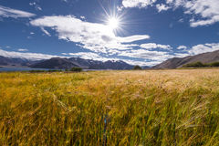 Wheat rice plantation field Stock Photo