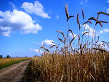 The wheat is ripe. Altai wheat was ripe in the fields of a farmer Stock Image