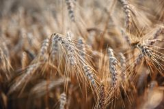 Wheat ripe ears in the morning dew close-up. Background. stock photos