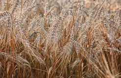 Wheat ripe ears in the morning dew closeup background stock image