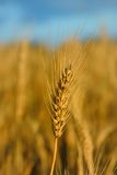 Wheat. Royalty Free Stock Image