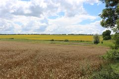 Wheat is ripening in the fields. royalty free stock photos