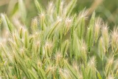 Wheat in the ripening process on the field stock photos