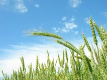 Wheat ripens. Royalty Free Stock Photo