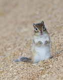 Wheat with rodent. Stored wheat with rodent Siberian Chipmunk Royalty Free Stock Photography