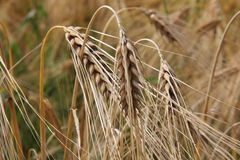 Wheat in rural Royalty Free Stock Images